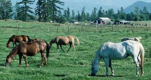 Grazing horses facing downwind