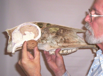 Photo of a horse skull showing the relative sizes of the cerebellum and a large walnut