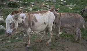 Donkeys seem especially vulnerable to Jack Sores