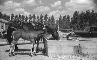 Mare and colt at trough, Fairfield Bench Farms, Montana