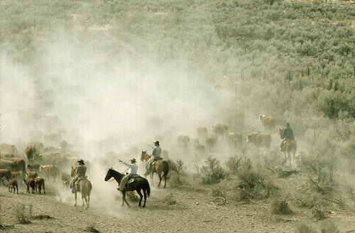 Cowboys riding in the drag of a cattle drive