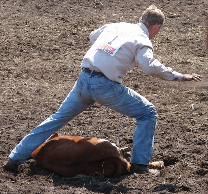 Cowboy finished hogtying a calf