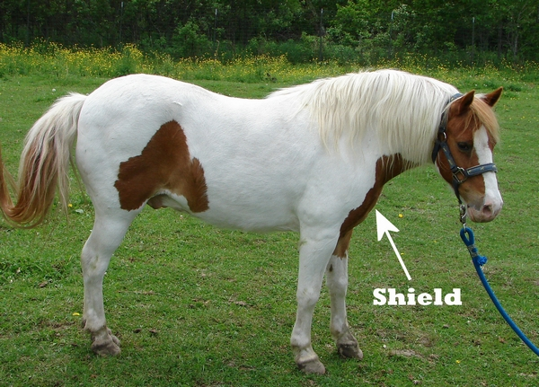 A pony with a shield marking on its chest.