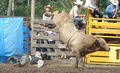 Cinch Rope on a bucking bull