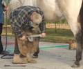 Farrier rasping a horse's hoof