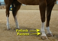 Pastern and Fetlock
