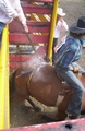 Flank strap being tightened as bronco leaves rodeo chute