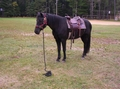 Ground hitched horse