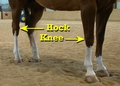 Hock and knee