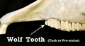 Horse skull with wolf tooth (Pre-molar)