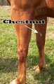 Chestnut on horse's leg