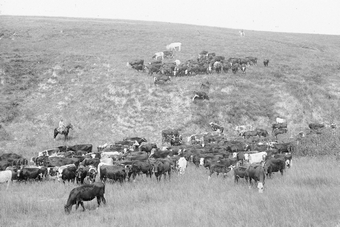 Herding cattle near Amherst, Buffalo County, Nebraska. ca. 1905