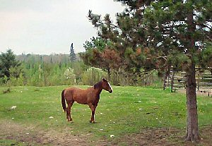 Horse in pine-studded pasture