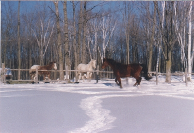 Unblanketed horses in winter